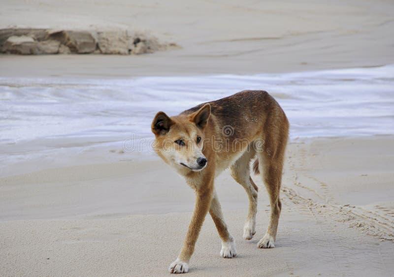 Fraser wyspy dingo zdjęcie stock