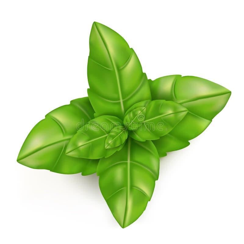 Frash Basil leaves. Basil leaves on a white background stock illustration