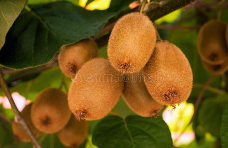 Frash kiwi Actinidia chinensis na drzewie z gałąź i liśćmi fotografia stock