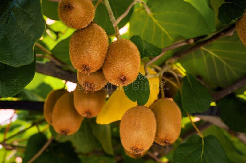Frash kiwi Actinidia chinensis na drzewie z gałąź i liśćmi zdjęcie royalty free