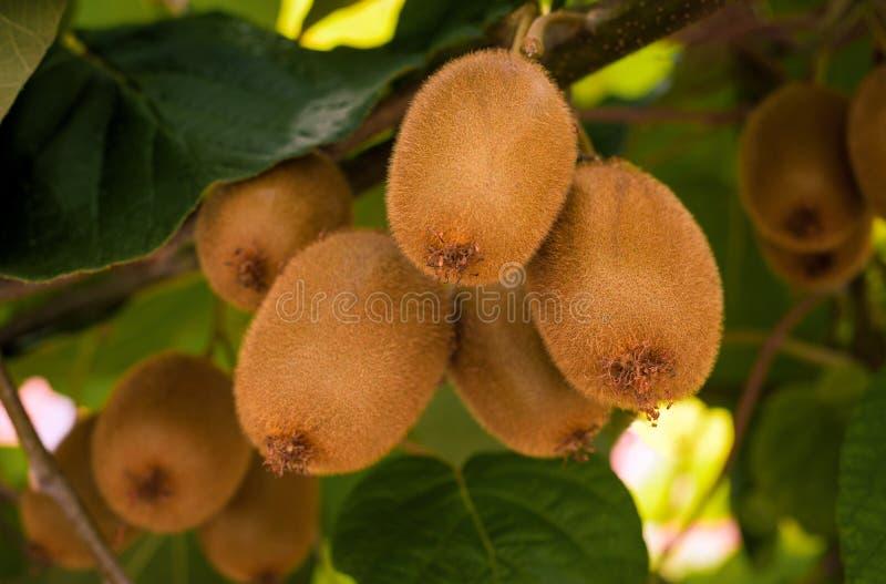 Frash kiwi Actinidia chinensis na drzewie z gałąź i liśćmi obrazy stock