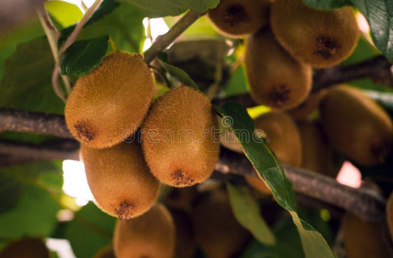 Frash kiwi Actinidia chinensis na drzewie z gałąź i liśćmi obraz stock