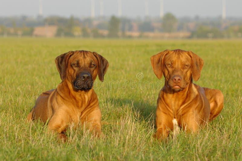 Fratelli del cane fotografie stock