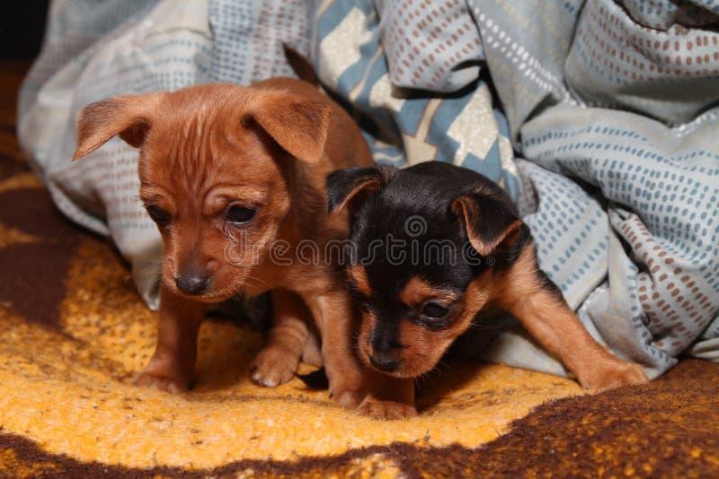Fratelli del cucciolo immagini stock libere da diritti