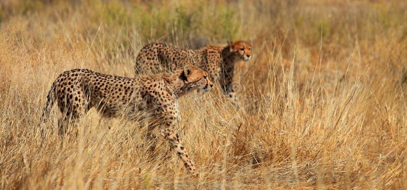 Fratelli del ghepardo immagini stock libere da diritti