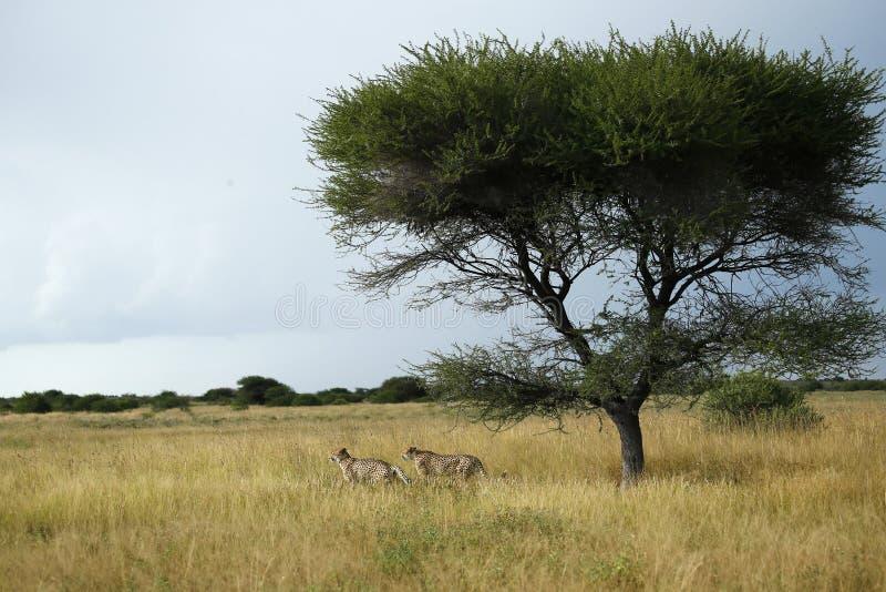 Fratelli del ghepardo fotografia stock