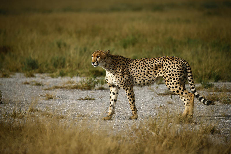 Fratelli del ghepardo immagine stock libera da diritti