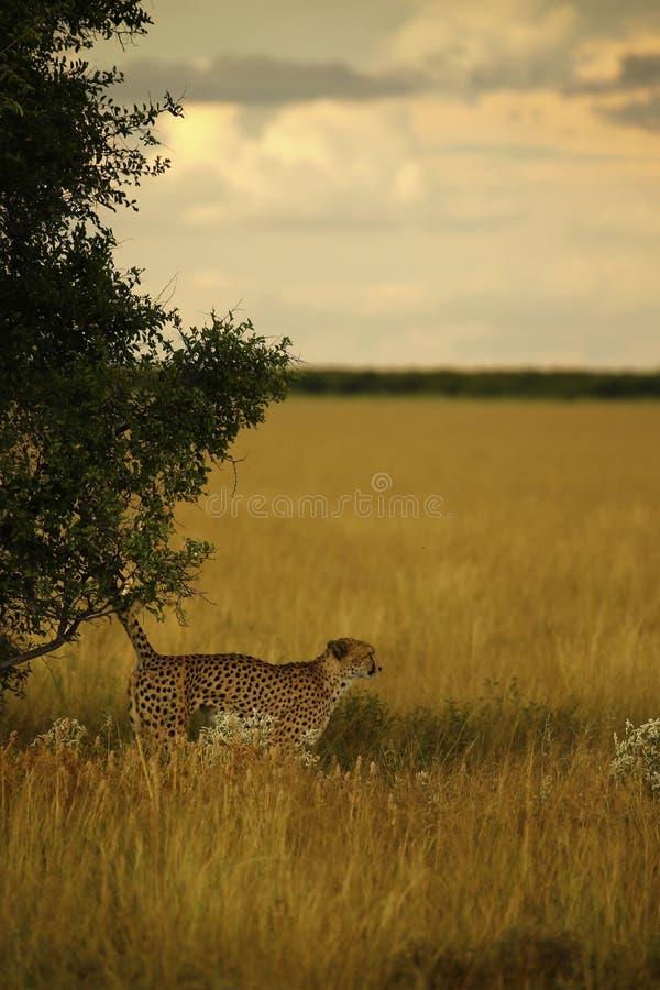 Fratelli del ghepardo fotografie stock