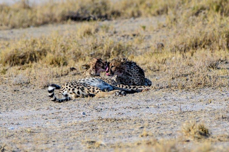 Fratelli del ghepardo che si pavoneggiano fotografia stock
