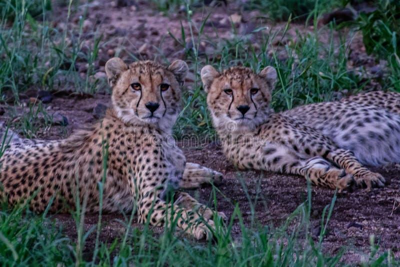 Fratelli del ghepardo sulle pianure di Kalahari fotografie stock