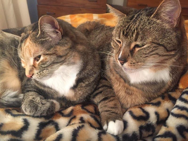 Fratello e sorella di Tabby Cat immagini stock