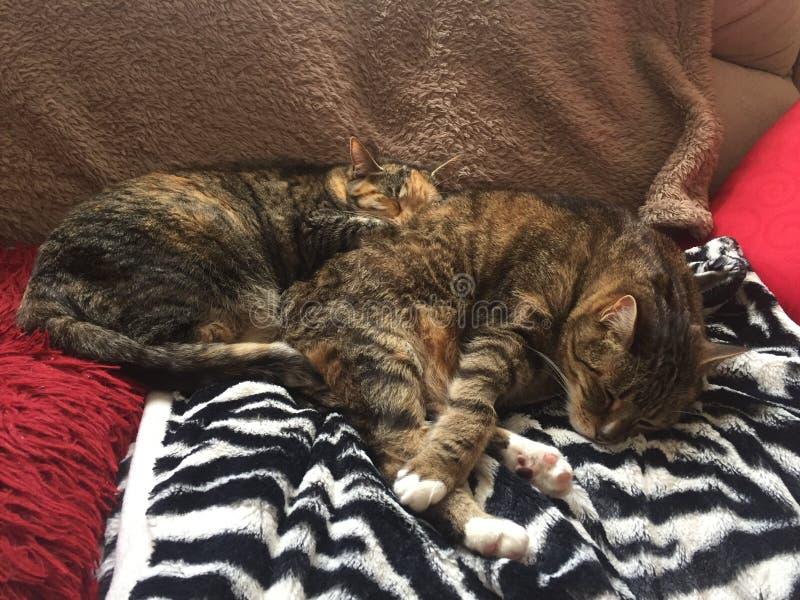 Fratello e sorella di Tabby Cat immagini stock libere da diritti