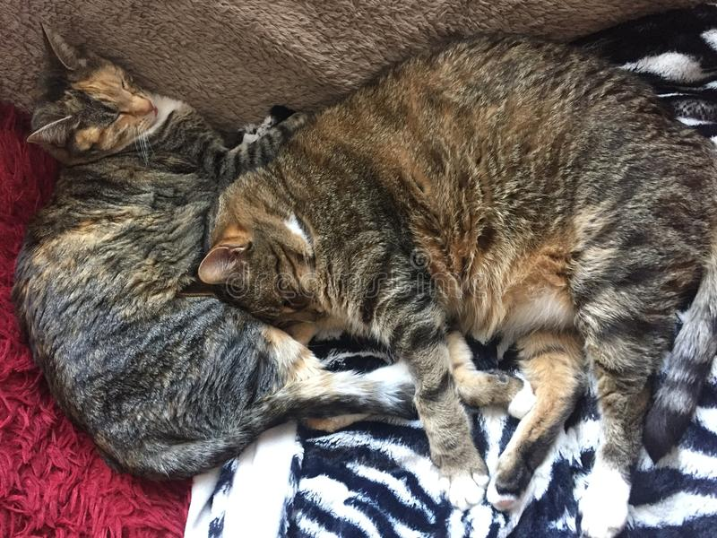 Fratello e sorella Tabby Cats fotografia stock