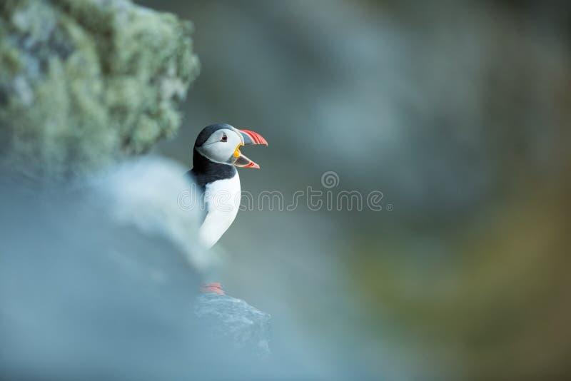 Fratercula arctica E 美好的图片 从鸟生活  自由自然 r Sandinavian 图库摄影