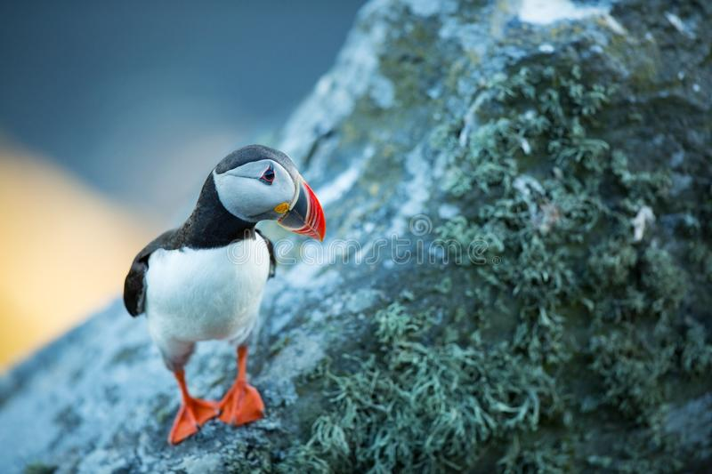 Fratercula arctica. Norway`s wildlife. Beautiful picture. From the life of birds. Free nature. Runde island in Norway.Sandinavian. Wildlife. North of Europe royalty free stock photography