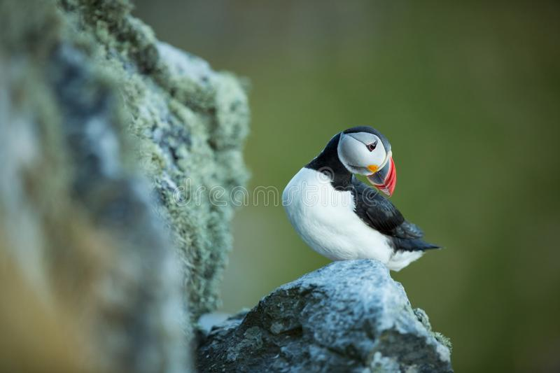 Fratercula arctica. Norway`s wildlife. Beautiful picture. From the life of birds. Free nature. Runde island in Norway.Sandinavian. Wildlife. North of Europe royalty free stock images