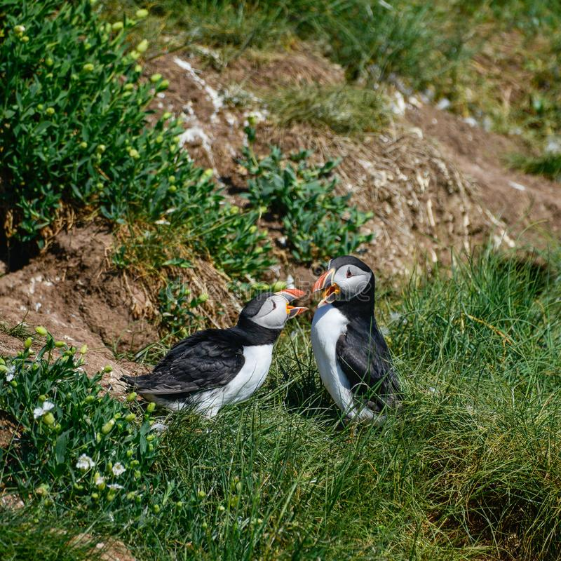 Fratercula coloré Arctica de macareux atlantique ou de macareux de Comon dans N image libre de droits