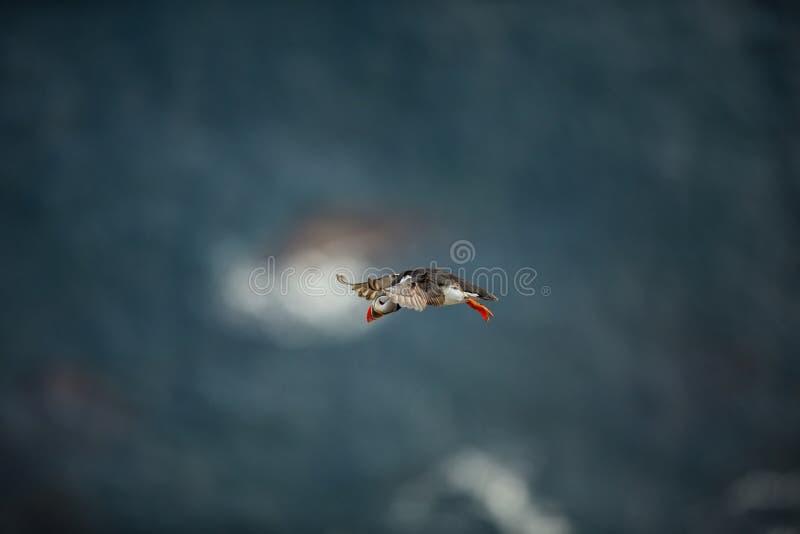 Fraterculaarctica Het wild van Noorwegen Mooi beeld Van het Leven van Vogels Vrije Aard Rundeeiland in Noorwegen Sandinavian stock afbeeldingen