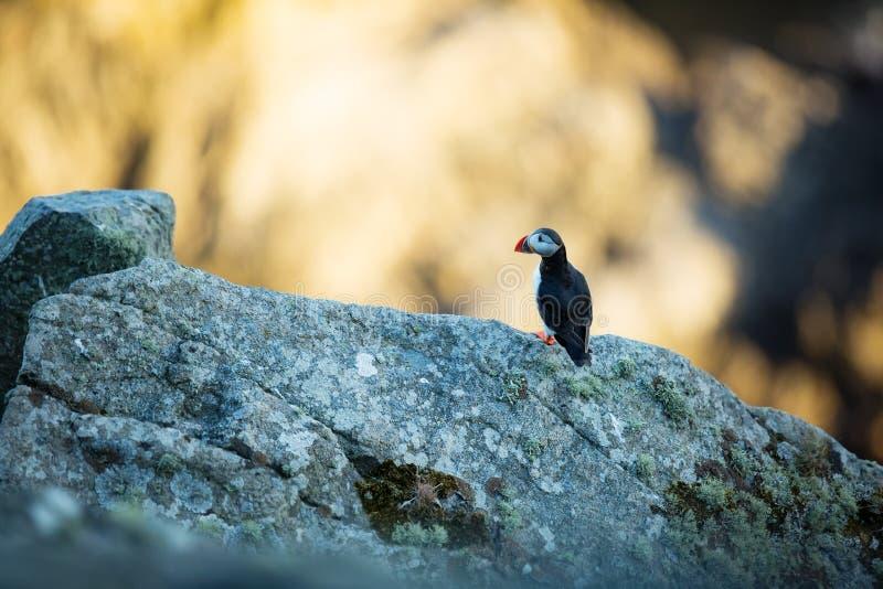 Fraterculaarctica Het wild van Noorwegen Mooi beeld Van het Leven van Vogels Vrije Aard Rundeeiland in Noorwegen Sandinavian royalty-vrije stock afbeeldingen