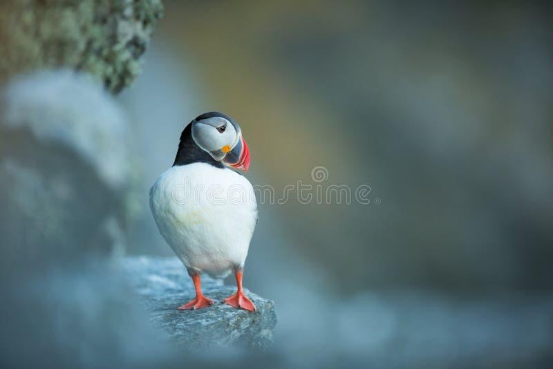 Fraterculaarctica Het wild van Noorwegen Mooi beeld Van het Leven van Vogels Vrije Aard Rundeeiland in Noorwegen Sandinavian stock afbeelding