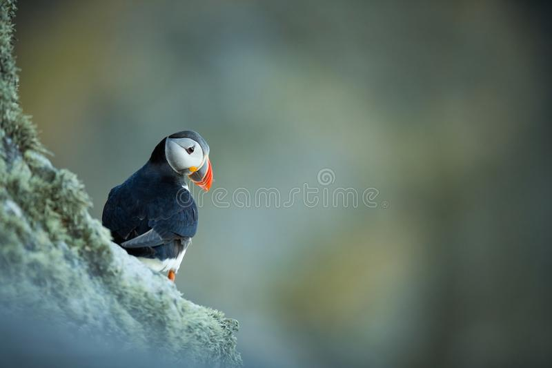 Fraterculaarctica Het wild van Noorwegen Mooi beeld Van het Leven van Vogels Vrije Aard Rundeeiland in Noorwegen Sandinavian stock foto's