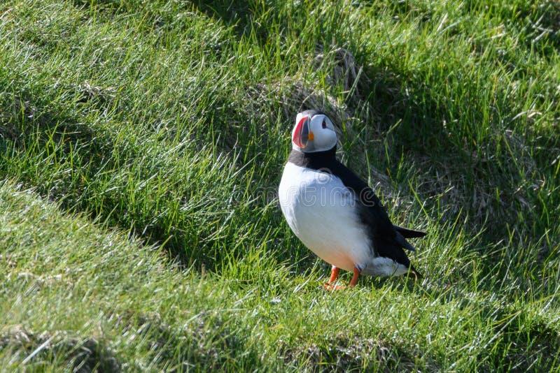 Fraterculaarctica, Papegaaiduiker van IJsland royalty-vrije stock fotografie