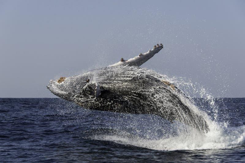 Frattura della balena di Humpback fotografia stock libera da diritti
