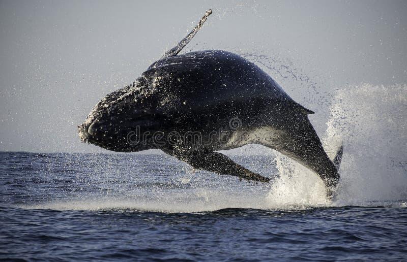 Frattura della balena di Humpback immagine stock libera da diritti