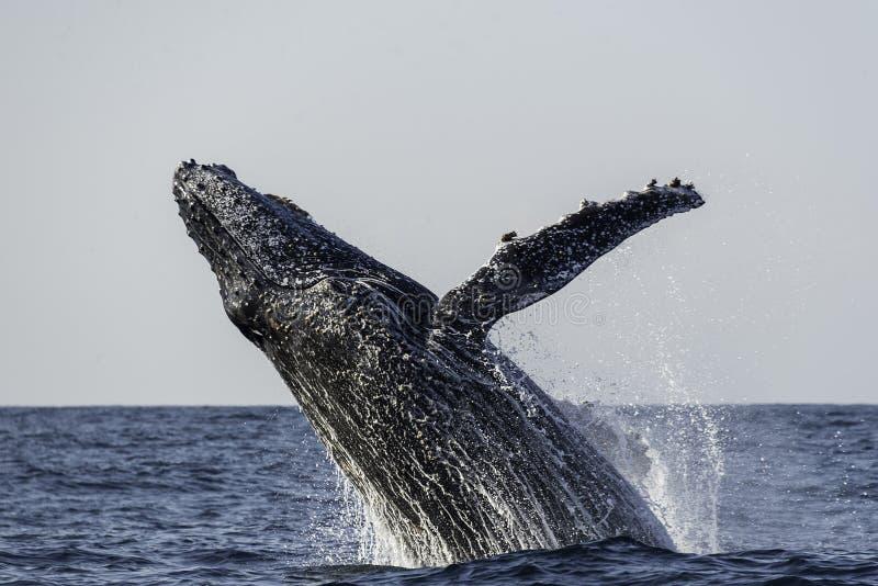 Frattura della balena di Humpback fotografie stock libere da diritti
