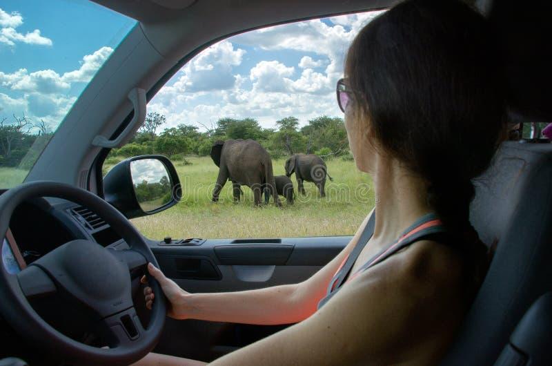 Frau auf der Safari, die Elefanten betrachtet lizenzfreie stockfotografie