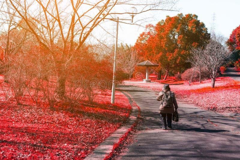 Frau auf der Straße im roten Herbstahorn in der Natur mit Sonnenlicht stockfoto