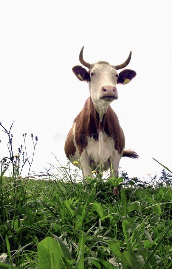 Frau Cow stockfotos