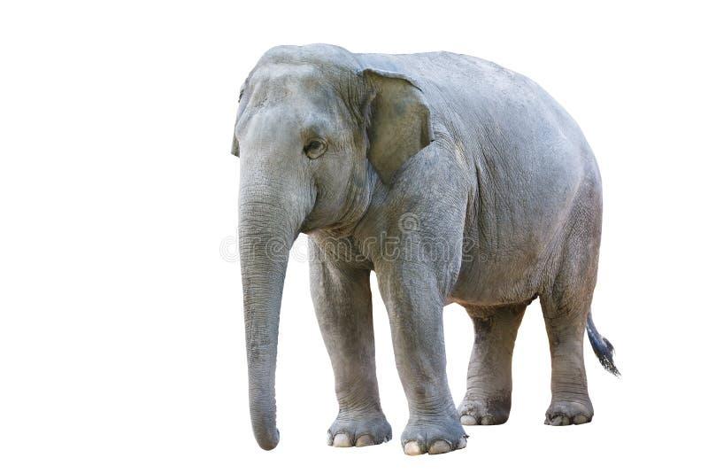 Frau des asiatischen Elefanten lizenzfreies stockbild
