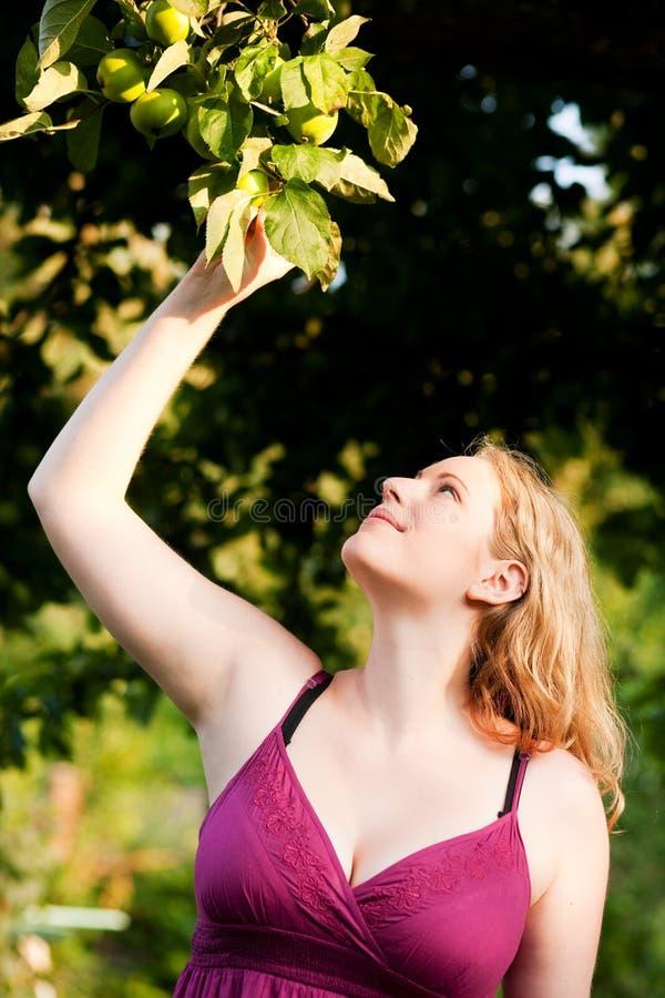 Frau, die Äpfel im Garten erntet lizenzfreies stockfoto