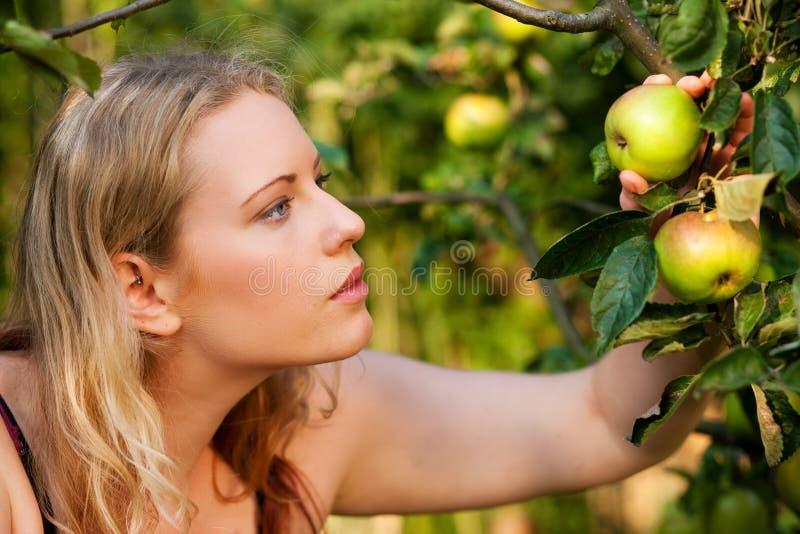 Frau, die Äpfel im Garten erntet lizenzfreie stockfotos