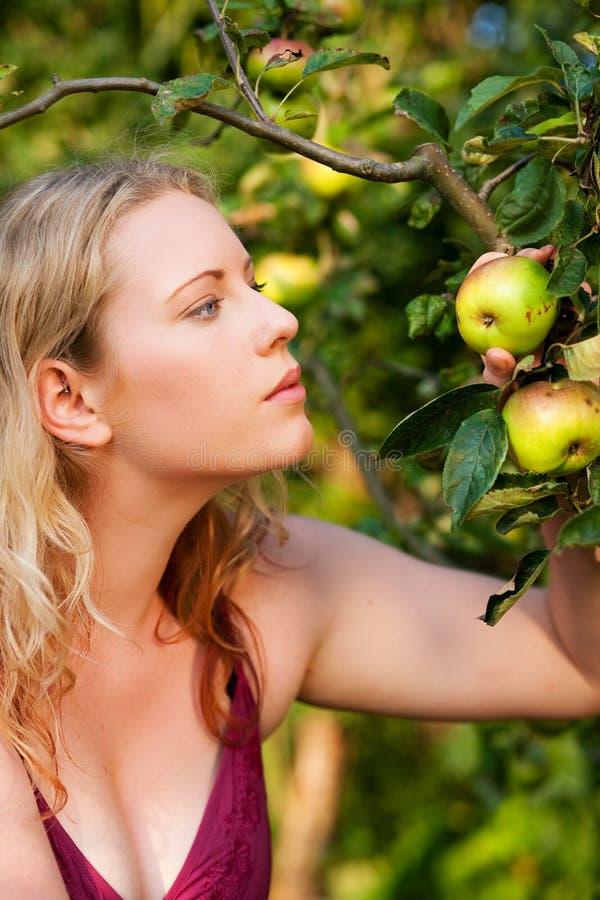 Frau, die Äpfel im Garten erntet stockbild