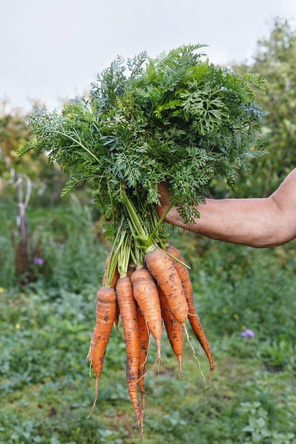 Frau, die ein Bündel Karotten anhält lizenzfreie stockfotos