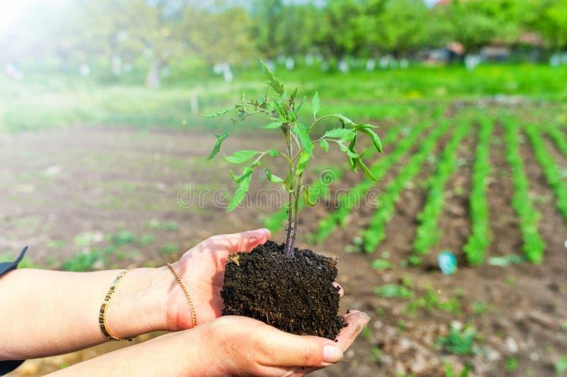 Frau, die eine Anlage in den Händen gegen Gartenhintergrund hält lizenzfreies stockfoto