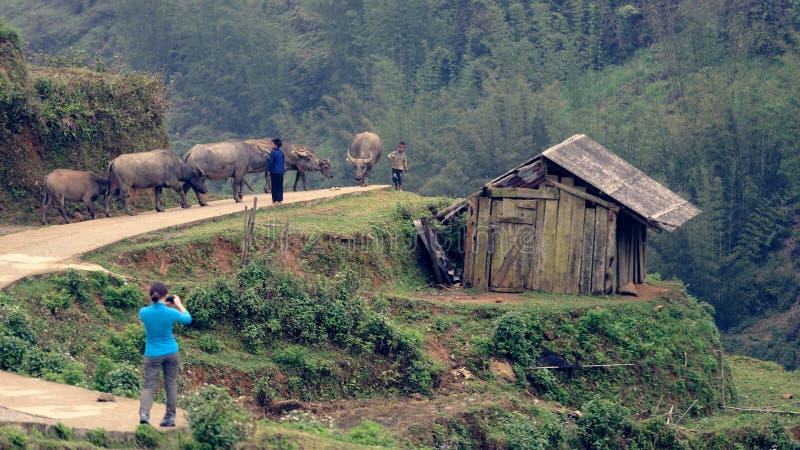 Frau, die Foto der Herde in Sapa-Tal macht lizenzfreies stockbild