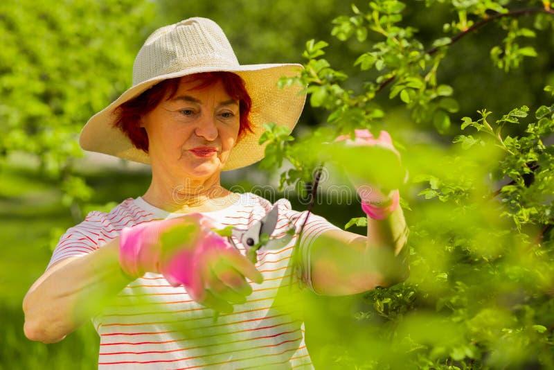 Frau, die rosa Handschuhe unter Verwendung der Zangen beim Schnitt von Niederlassungen trägt stockfotografie