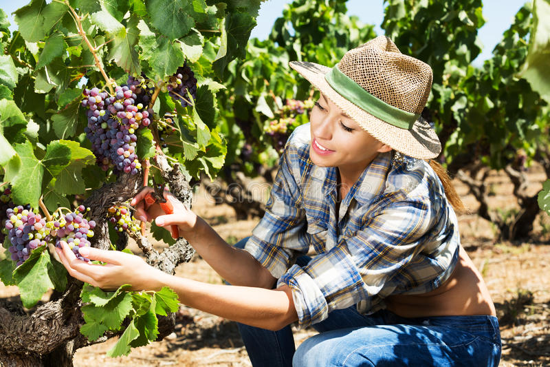 Frau, die an Weinkellereiyard arbeitet lizenzfreies stockfoto