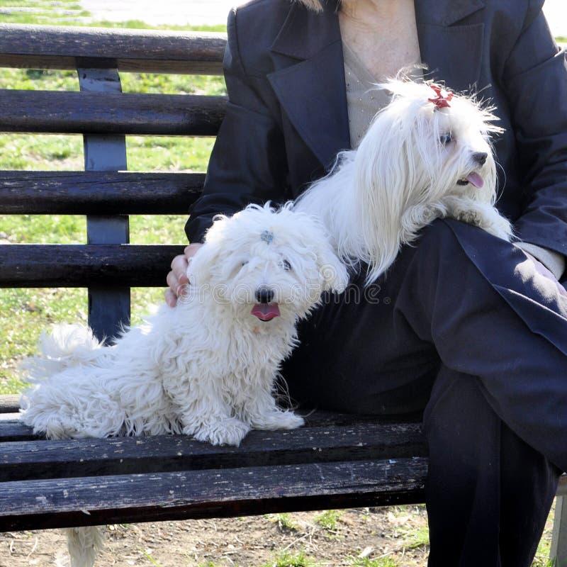 Frau, die zwei nette maltesische Hunde im Park hält lizenzfreie stockfotos