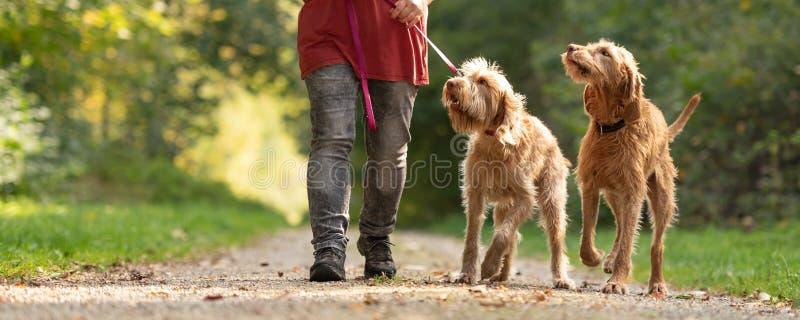 Frau geht mit zwei reizenden ungarischen ungarischen Vizsla-Hunden lizenzfreie stockfotos