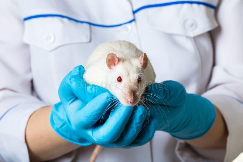 Frau hält eine weiße Ratte stockfotos