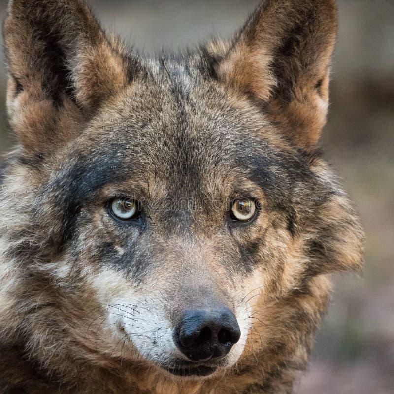 Frau iberischen Wolf Canis Lupus signatus lizenzfreies stockbild