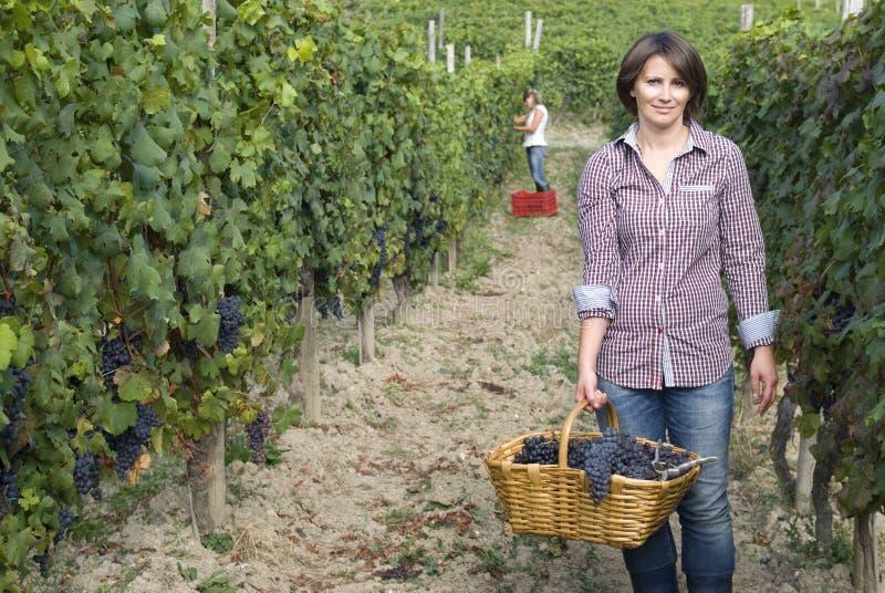 Frau im Weinberg während der Erntezeit stockbilder