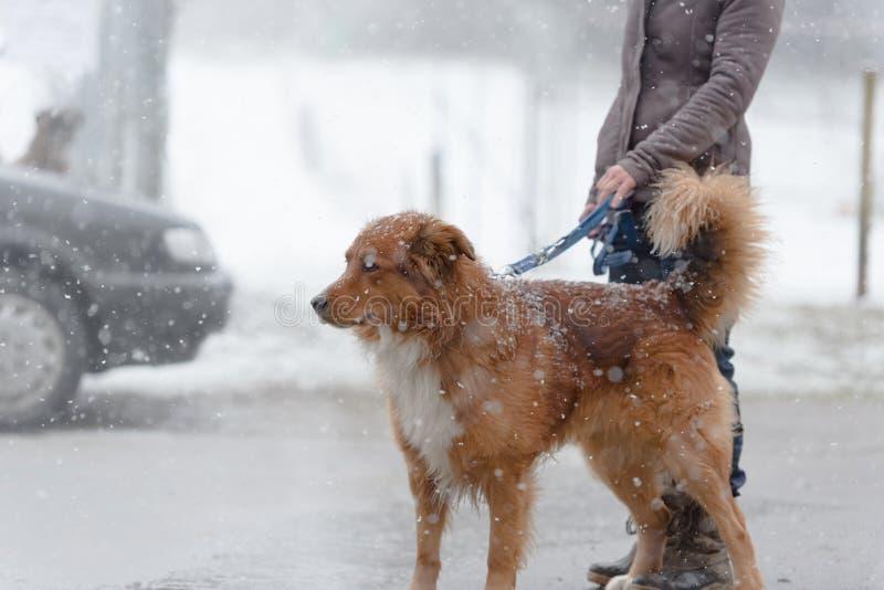 Frau ist, die mit Hund in der Thstadt am Nebel gehen stockfotografie