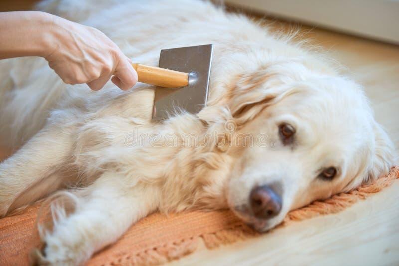 Frau kämmt alten golden retriever-Hund mit einem Metallpflegenkamm lizenzfreie stockfotografie