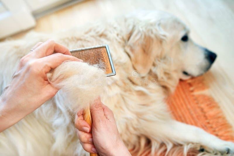 Frau kämmt alten golden retriever-Hund mit einem Metallpflegenkamm stockbild