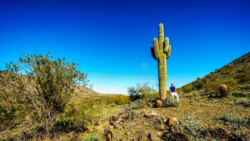 Frau neben einem hohen Saguarokaktus in der Wüstenlandschaft entlang dem Bajada-Wanderweg in den Bergen des Südgebirgsparks lizenzfreie stockfotos